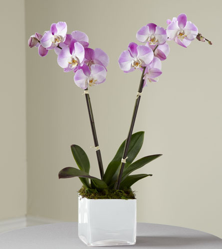 Mini Pink Orchid Plant